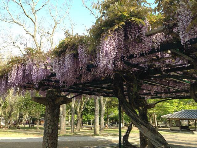 奈良公園の藤