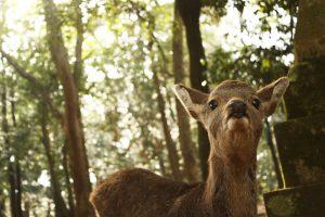 何かを待つ鹿