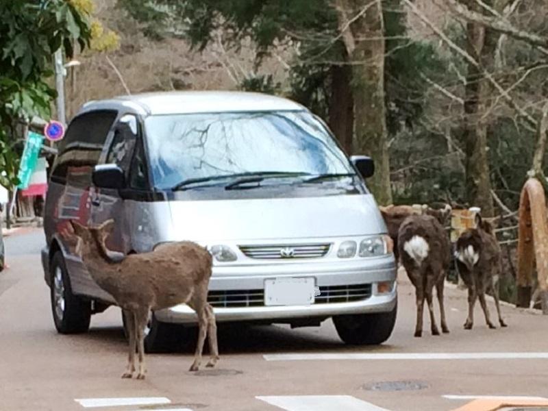 道路の鹿さん